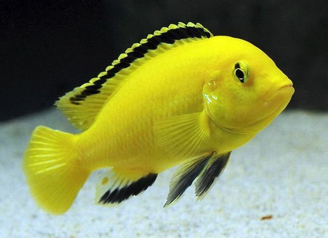 Labidochromis YELLOW Żółty aka - konserwacja i reprodukcja