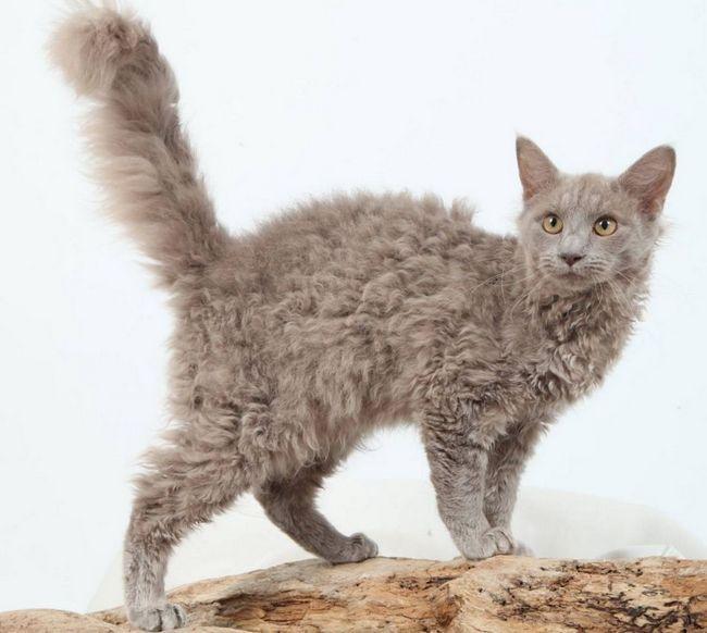 LaPerm - kot z indyjskiego nazwy