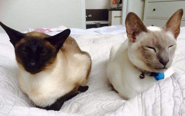 Długa historia kotów syjamskich