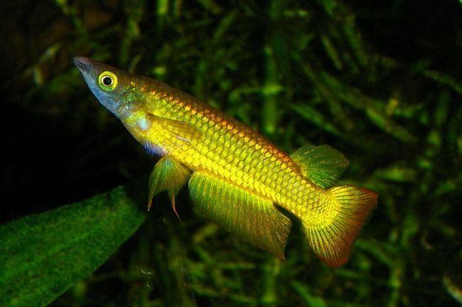 Lineatus złoto - mały szczupak kolor złoty