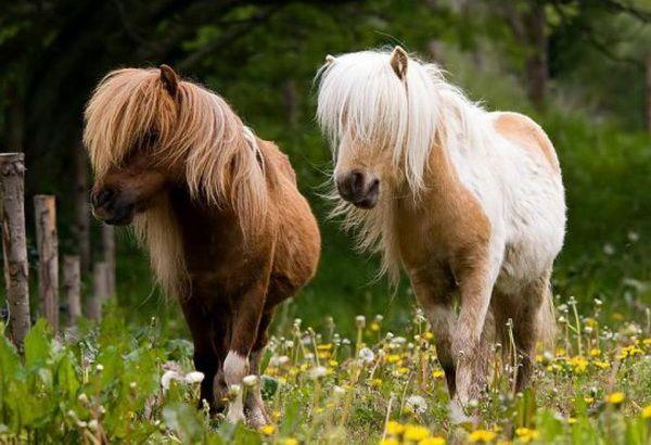 Konie z dzieciństwa - zapoznają się z różnych ras kucyków
