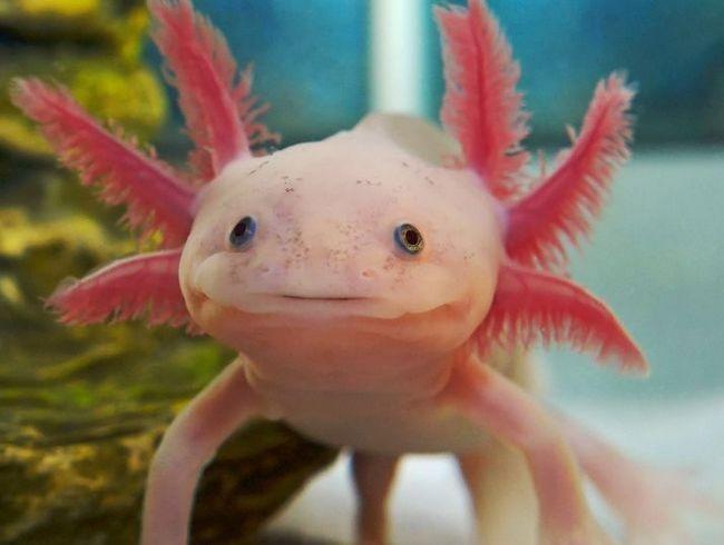 Mexican axolotl woda smok