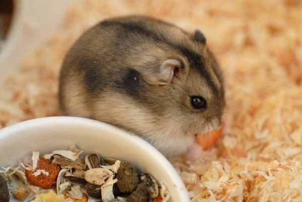 Hamster Menu: jakie pokarmy dać puszyste i ile razy dziennie karmić?