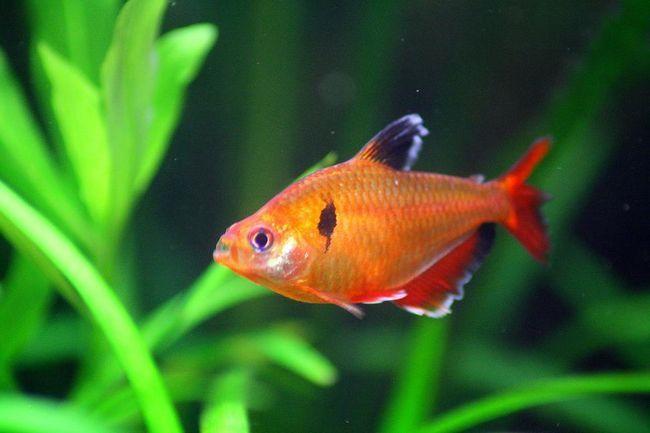 Minor lub Serpas - piękne, ale zarozumiały ryby