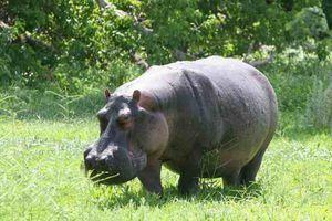 Hipopotamy Milk - Mity, spekulacje, wyrok