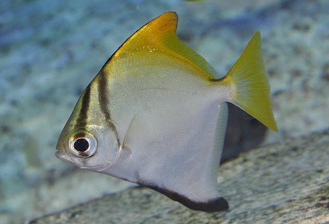 Monodaktil lub ryba jaskółka - zawartość w akwarium