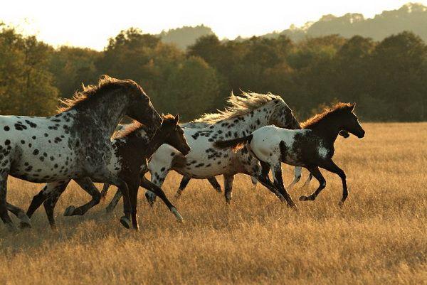 Niezwykłe Chubarov Koń Appaloosa
