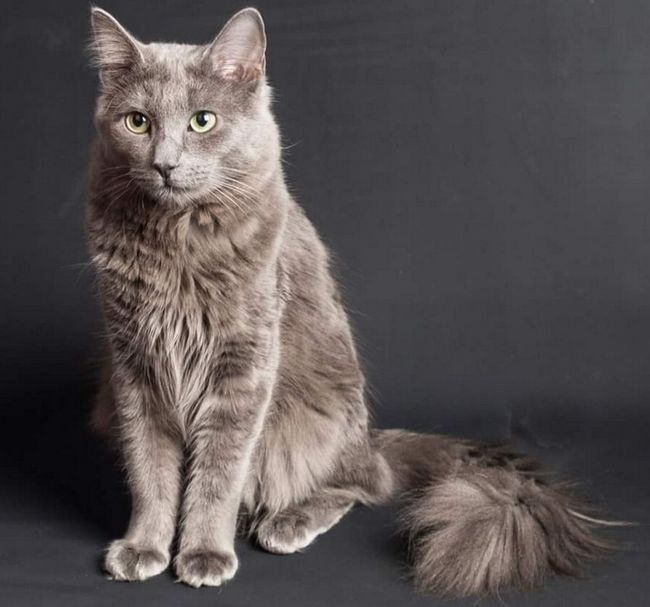 Nibelung - niebieski kot z długimi włosami