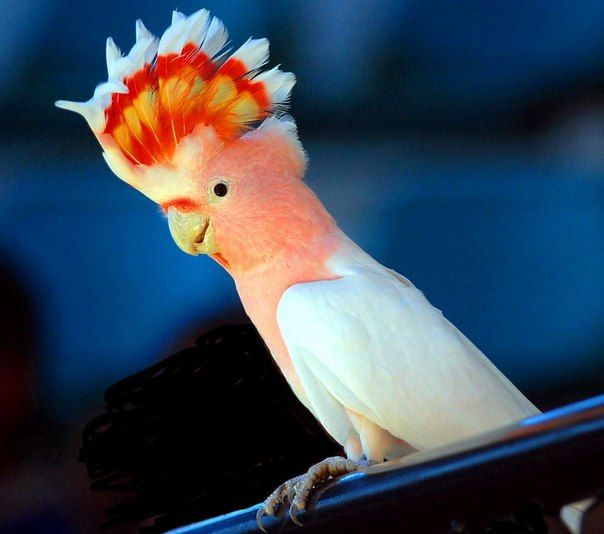 Jednym ze sposobów komunikacji papuga - krzyk