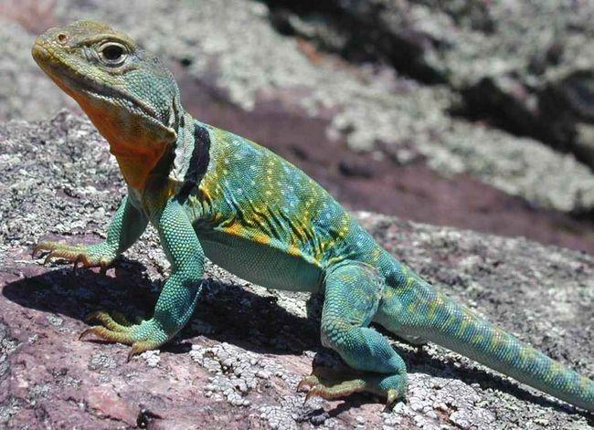 Kołnierzykiem iguana - szybko i drapieżne