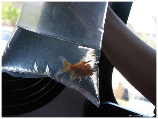 Transportowane i przeszczepione ryby mądrze