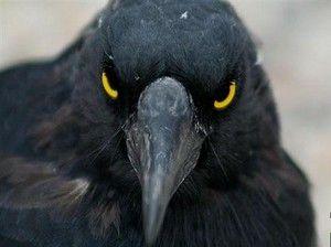 Dlaczego wrony ludzi ataku