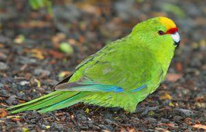Papugi kakariki - nadpobudliwe urok