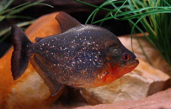 Popularnych ryb, które mogą być zadziorny