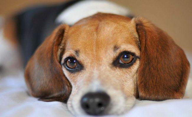 Psy rasy beagle
