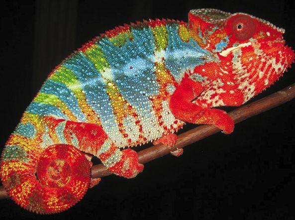Kolor święto - panterovy kameleon
