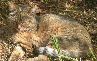 Przodkowie kotów domowych