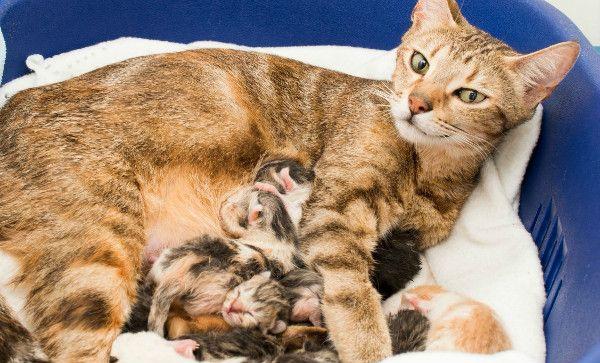 Przedwczesny poród kota - jak to możliwe, przyczyny swoich działań i