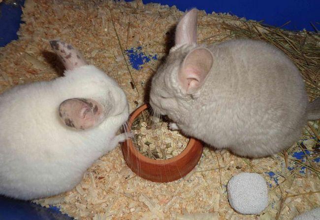Dwa szynszyli jeść z koryta