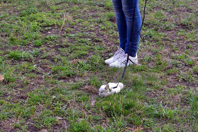 Szynszyle na smyczy chodzenie na trawie