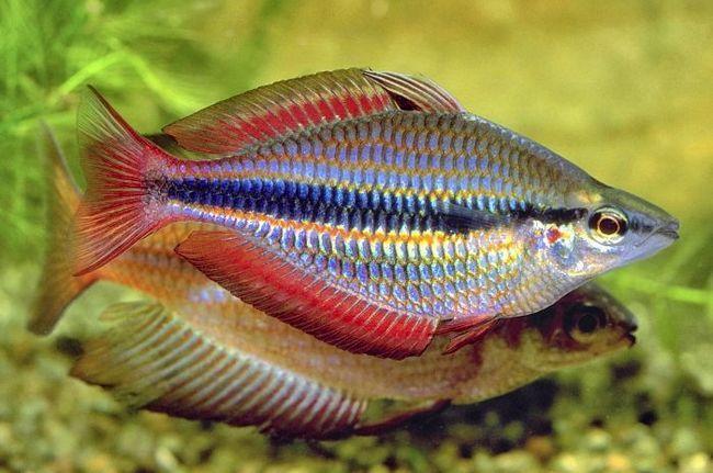 Donaciinae trehpolosaya - gość z dalekiej Australii