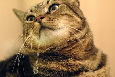 Rozumiemy, dlaczego kot ślinotok