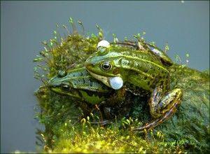 Żaby powielania i pielęgnacja
