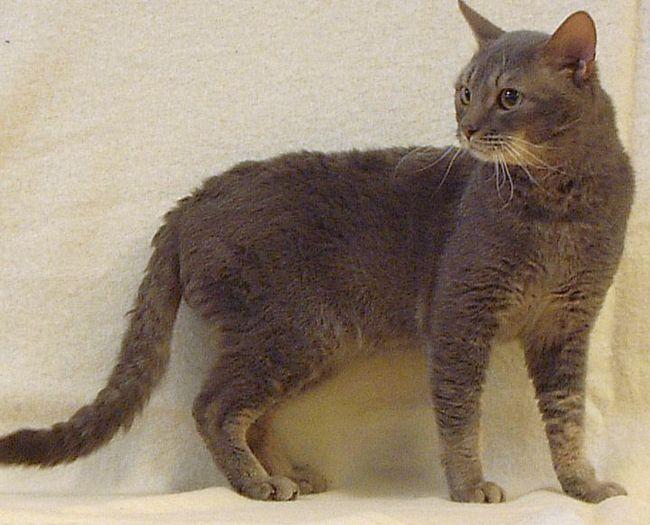 Rzadka rasa kotów - Niemiecki Rex