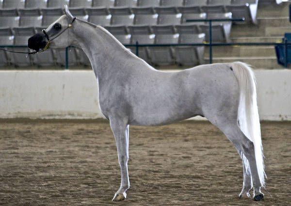 Ocena z najpiękniejszych i najbardziej niezwykłych koni z całego świata