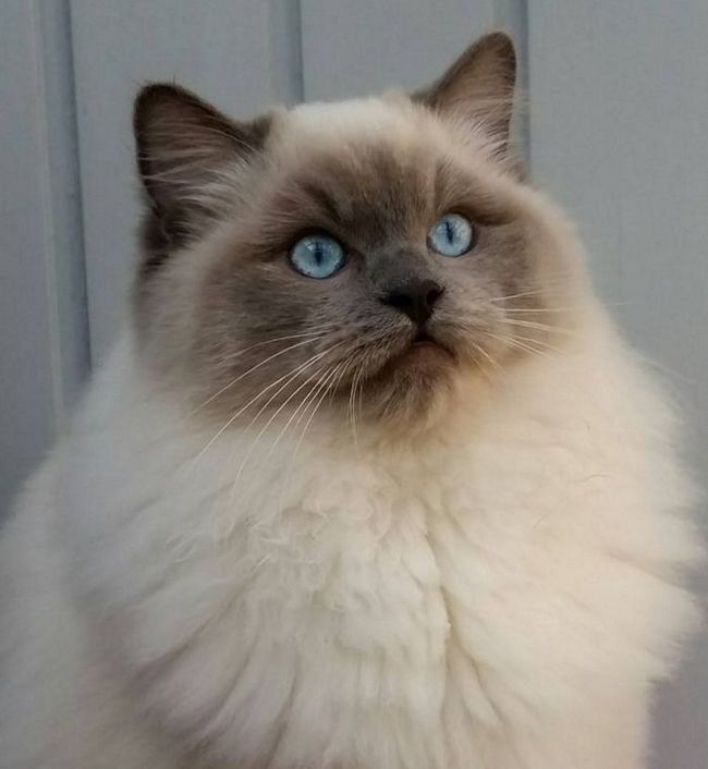 Ragdoll kot czy szmaciana lalka?