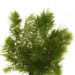 Kubański glewiki (Ceratophyllum spec.) -