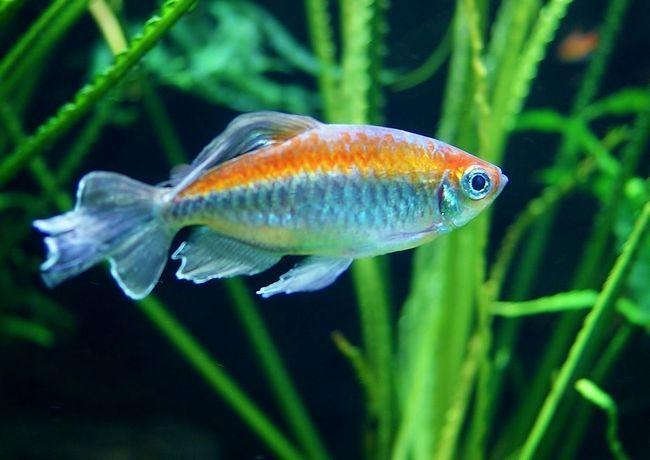 Ryby Kongo - Piękne tetra