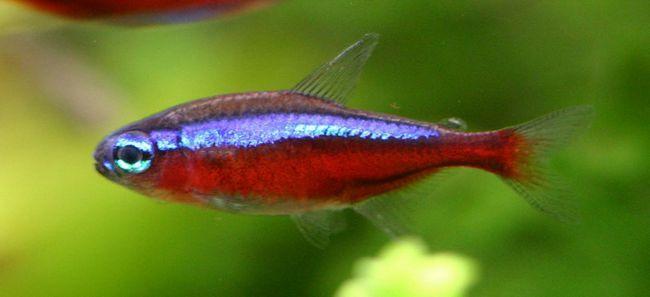 Czerwony neon ryby - prawie jak zwykły. ale czerwona