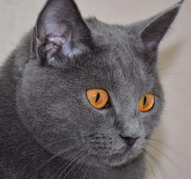 Kot Chartreux lub kartezjański