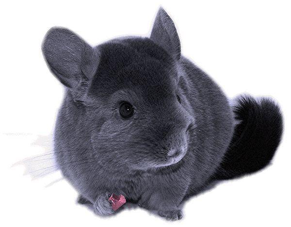 Chinchilla - Sweet and Tender Beast