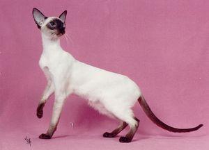 Standardowe kot syjamski