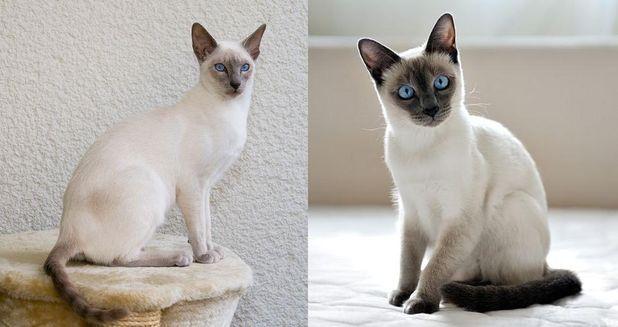 W różnych ras kotów i Siamese Thai
