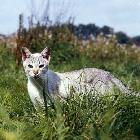 Zdjęcia kot syjamski