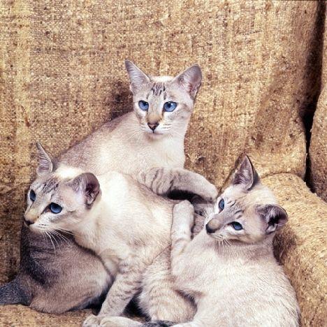 Początki kot syjamski