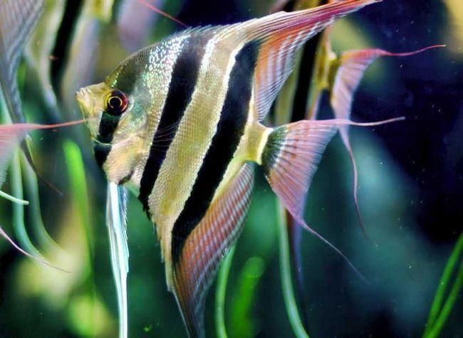 Skalary - zawartość w akwarium