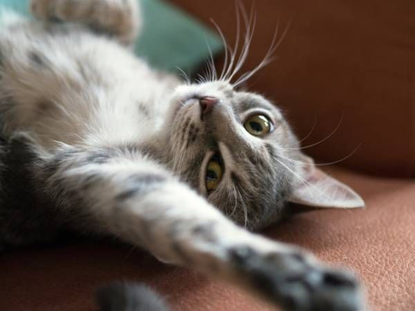 Jak długo ruja u kotów? Mówimy o czasie trwania