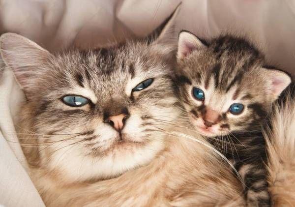 Ile kotów w ciąży iść? Zasady i etapy ciąży kociąt