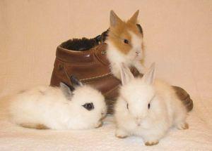 Zawartość ozdobne króliki, opinie właścicieli