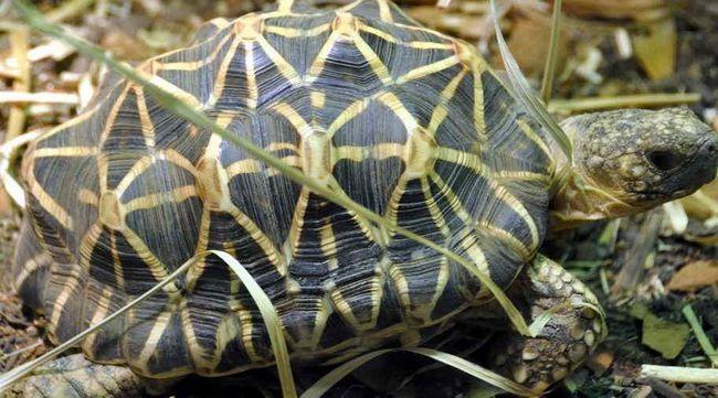 Zawartość Indian Star żółw w domu