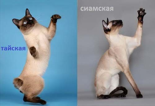 W odróżnieniu od tajski kot syjamski