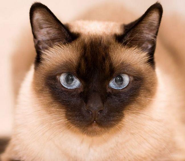 Thai - tradycyjna kot syjamski