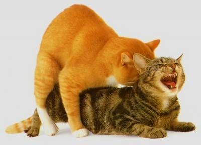 Ruja u kotów: Proces fizjologia