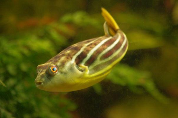 Tetradon fahaka pufferfish - sąsiedzi nie są zadowoleni