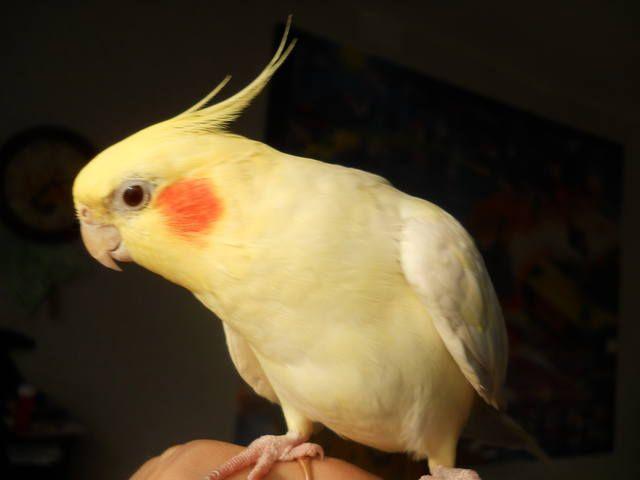 Corella papuga siedzi na ręce mężczyzny