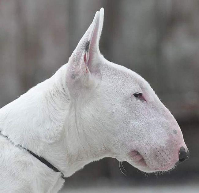 To samo bull terrier
